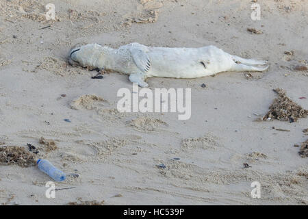 Dead seal pup highlighting the dangers of Litter on beaches to wildlife by plastic bottle discarded on the Beach - Stock Photo