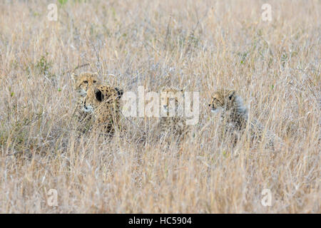 Cheetah mother with her three young cubs (Acinonyx jubatus) resting in the long grass of the savannah, South Africa - Stock Photo