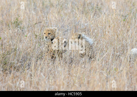 Cheetah mother with her young cubs (Acinonyx jubatus) resting in the long grass of the savannah, South Africa - Stock Photo