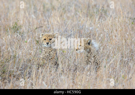 Two young cheetah cubs (Acinonyx jubatus) hiding in the long grass of the savannah, South Africa