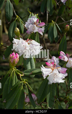Rhododendron, Sichuan-Rhododendron, Rhododendron sutchuenense, Sichuan Rhododendron - Stock Photo