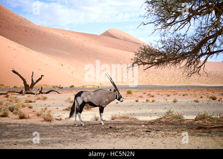 oryx in Namibia - Stock Photo