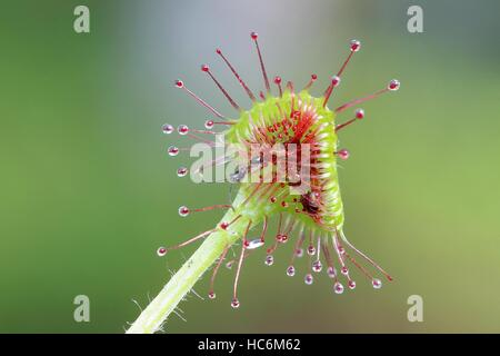 Common sundew,  Drosera rotundifolia, wasp as prey - Stock Photo