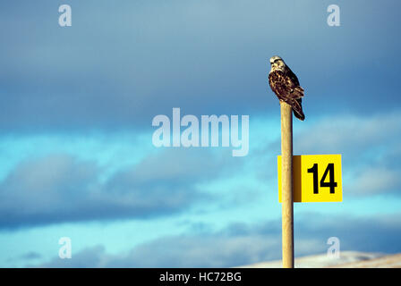 Ferruginous Hawk (Buteo regalis) perched on a Post, Chilcotin Region, BC, British Columbia, Canada - North American - Stock Photo