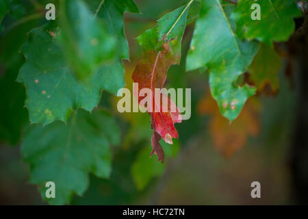 Branch of an Oak tree featuring a single leaf turning color in the fall. - Stock Photo
