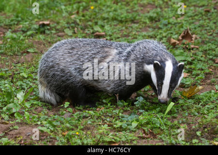 European badger (Meles meles) foraging in grassland during the daytime - Stock Photo