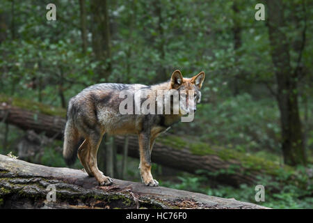 Solitary gray wolf / grey wolf (Canis lupus) on fallen tree trunk in forest - Stock Photo