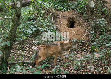Gray wolf / grey wolf (Canis lupus) at den dug in the ground in forest - Stock Photo