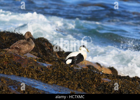 A pair of Common eider resting on the shore in Village Bay, St Kilda, Scotland - Stock Photo