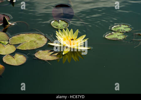 Photograph of yellow waterlilies and lily pads in a pond. - Stock Photo
