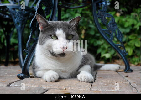 Cat resting under table at Ernest Hemingway Home and Museum, Key West, Florida, USA. - Stock Photo