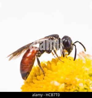 Sphecodes albilabris (Sphecodes albilabris) - Stock Photo