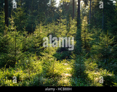 Spruce forest, Norway spruce (Picea abies), backlit, Thuringian Forest, Thuringia, Germany - Stock Photo