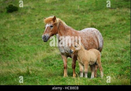 Shetland pony (Equus ferus caballus) with foal on alpine pasture, Carinthia, Austria - Stock Photo