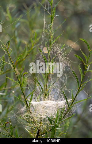 Web of Sheet Weaver (Linyphiidae) in willows, Isar, Upper Bavaria, Bavaria, Germany - Stock Photo