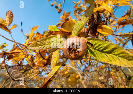 Ripe common medlar fruit with blue sky in the background - Stock Photo