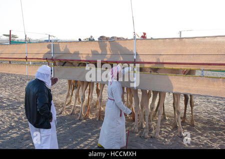 Camel legs behind the starting gate canvas. Two  men prepare to start the race in the Omani desert of Sharqiya. - Stock Photo