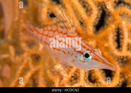 Longnose hawkfish (Oxycirrhites typus)  closeup on gorgonian sea fan (Annella mollis) differential focus. - Stock Photo