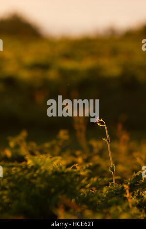 Red Campion Silene dioica, a single flower rises above the low lying vegetation back lit by the sunset, St Mary's, - Stock Photo