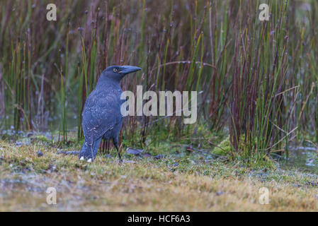 Black Currawong (also called Black Jay) in its native environment at Cradle Mountain National Park, Tasmania, Australia. - Stock Photo