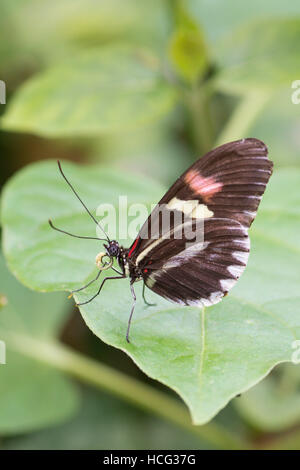 Postman (Heliconius melpomene) Butterfly. From Central and South America. - Stock Photo