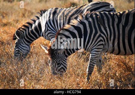 African Zebras grazing in Kruger National Park - Stock Photo