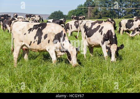 Dairy farming friesland cow animals  closeup photo in summer green mountain pastures. - Stock Photo