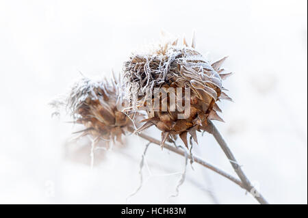 A delicate frost on a Cardoon thistle seed head - Stock Photo