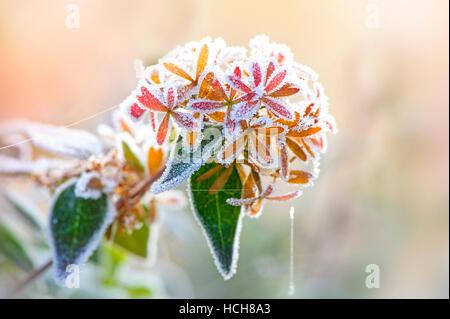 Frosted Abelia x Grandiflora flowers - Stock Photo