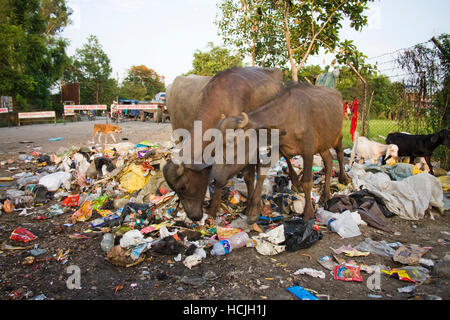 Asian water buffalo (Bubalus bubalis), goats and a dog scavenge for food in a garbage pile in the streets of Bharatpur, - Stock Photo