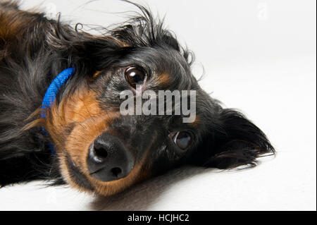 A black and tan longhaired dachshund lays on his side. - Stock Photo