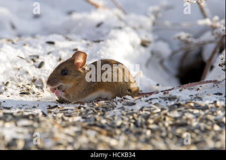 A closeup of a happy house mouse (Mus musculus) eating seeds on the snow under the bird-table - Stock Photo