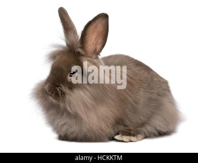 Cute lying chocolate colored mini lionhead bunny rabbit - Stock Photo