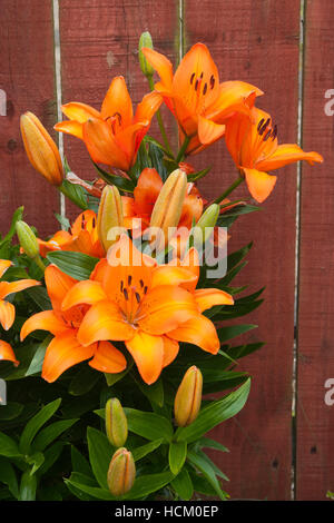 orange garden lilies against a wooden fence - Stock Photo