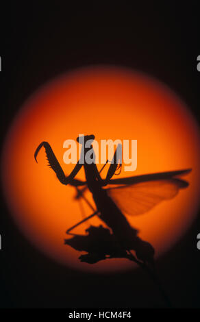 Praying mantis, Mantis religiosa. Solar disk on the horizon. Portugal - Stock Photo