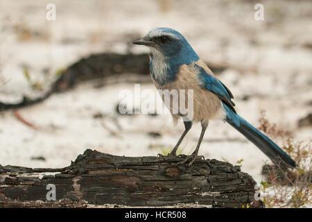 Florida Scrub-Jay on a charred log - Aphelocoma coerulescens - Stock Photo