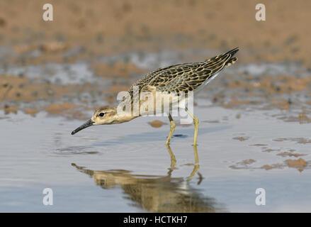 Ruff - Philomachus pugnax - Stock Photo