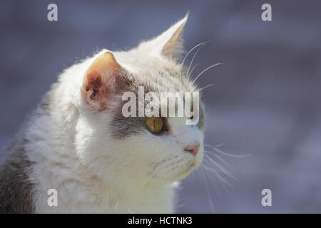 british shorthair, cat - Stock Photo