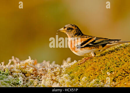 Brambling foraging for food - Stock Photo