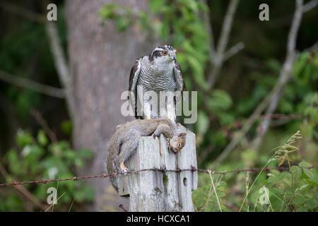 Goshawk  Accipiter gentilis with grey squirrel prey on a wooden post taken under controlled conditions