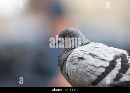 A one legged pigeon in London - Stock Photo