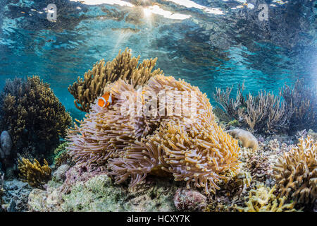 False clown anemonefish (Amphiprion ocellaris), Sebayur Island, Komodo Island National Park, Indonesia - Stock Photo