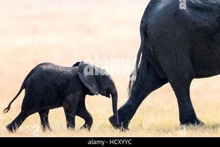 Elephant calf following mother, Hwange National Park, Zimbabwe, Africa - Stock Photo