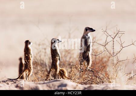 Meerkat (suricate) (Suricata suricatta), Kgalagadi Transfrontier Park, Kalahari, Northern Cape, South Africa, Africa - Stock Photo