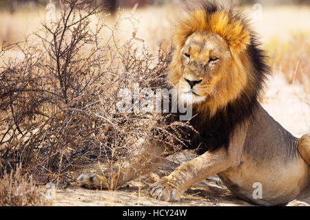 Resting lion (Panthera leo), Kgalagadi Transfrontier Park, Kalahari, Northern Cape, South Africa, Africa - Stock Photo