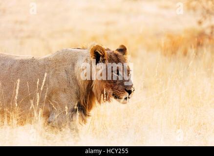 Young lion (Panthera leo), Kgalagadi Transfrontier Park, Kalahari, Northern Cape, South Africa, Africa - Stock Photo