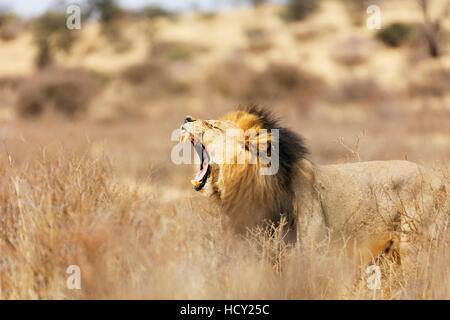 Roaring lion (Panthera leo), Kgalagadi Transfrontier Park, Kalahari, Northern Cape, South Africa, Africa - Stock Photo