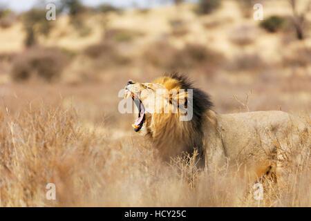 Roaring lion (Panthera leo), Kgalagadi Transfrontier Park, Kalahari, Northern Cape, South Africa, Africa - Stock Photo