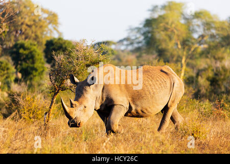 White rhino (Ceratotherium simum), Kruger National Park, South Africa, Africa - Stock Photo