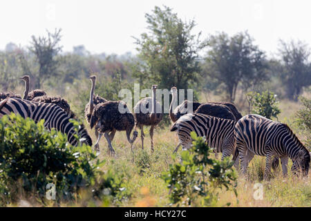 Common ostrich (Struthio camelus) and Burchell's plains zebra (Equus quagga), Kruger National Park, South Africa, - Stock Photo